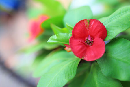 poi: Crown of thorns, Christ Thorn , poi sian flowers , Euphorbia milli Stock Photo