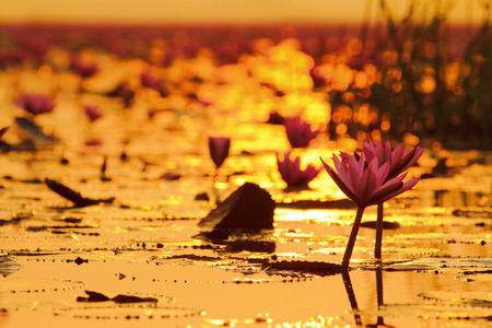 Sea of pink lotus (unseen in Thailand)  photo
