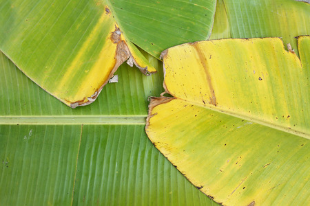 Banana Leaves Background  photo