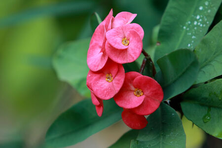 Crown of thorns, Christ Thorn , poi sian flowers , Euphorbia milli photo