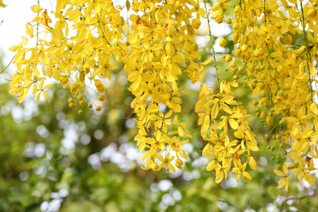 Flowers of the Golden Rain Tree close-up  photo
