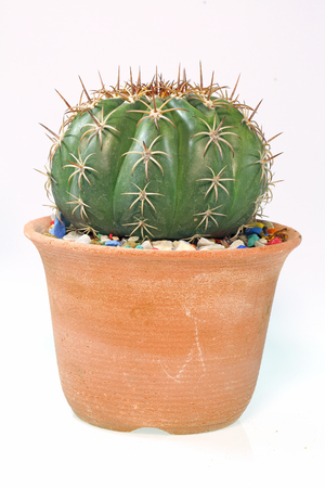 small castus in a pot on a white background