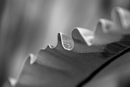 polypodiaceae: The structure of tropical fern plant in close up view. black and white