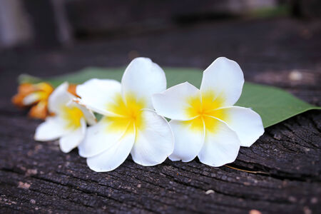 Close up of plumeria or frangipanni blossom on the old wood background.  photo