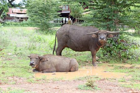 Thai buffalo ,Thailand  photo