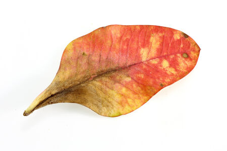 Red leaves on white background  photo