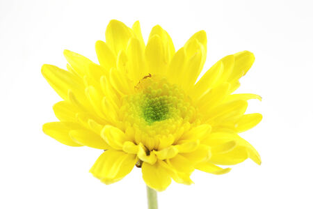 african daisy: african daisy (gerbera) isolated on white