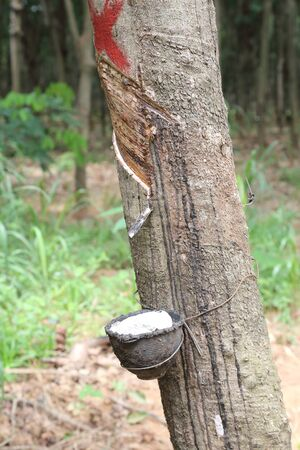 south east: Rubber plantation, South East Asia Stock Photo