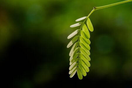 leaf close up: Tamarind leaf close up