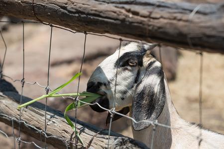 zoo animal: goats eating leaves