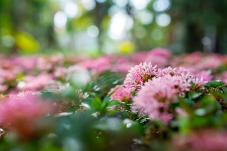 west indian: Close up of pink flower, West Indian Jasmine Stock Photo