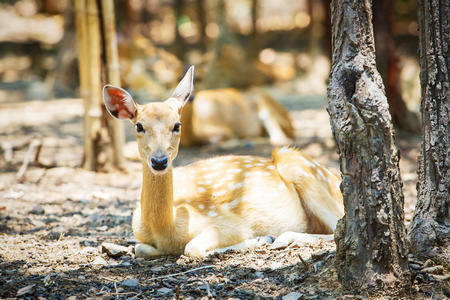 ruminate: Deer lying in the zoo at Thailand.