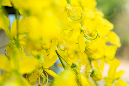 fabales: Cassia fistula flowers national of thailand