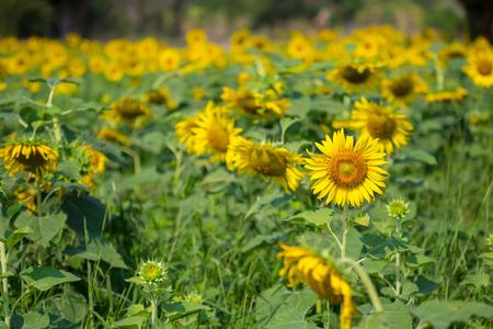 Sun flower: Sonnenblume in der Natur