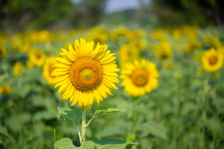 sun flower: sun flower in nature