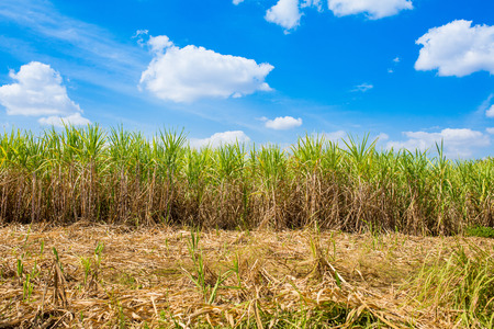 Plantation of sugar cane in Thailand Stock Photo