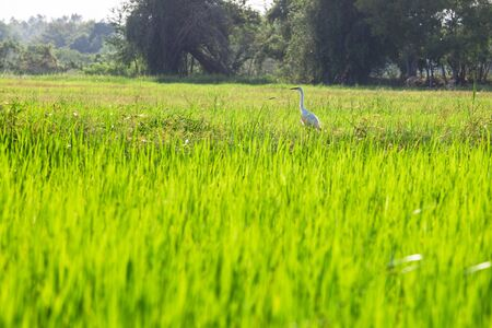 Rice fields with birds Stock Photo