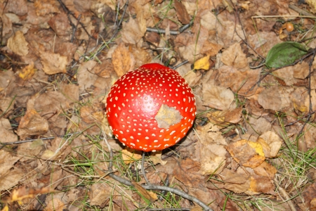 muscaria: Beautiful red cap of fly bane among dry leaves in forest at autumn day.