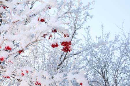 comida de navidad: Las ramas de los �rboles y bayas rojas del viburnum en las heladas en invierno en un d�a soleado.
