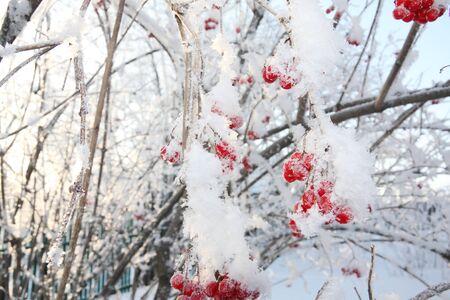 comida de navidad: Los �rboles con bayas viburnum en las heladas en invierno y el sol brilla a trav�s de ramificaciones.