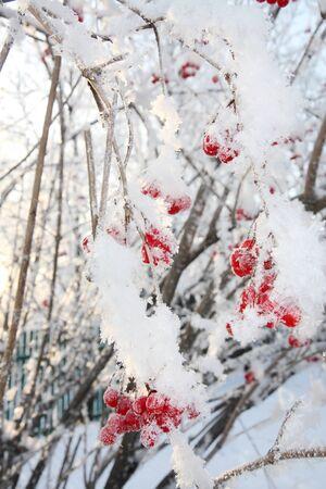 comida de navidad: Viburnum bayas en las heladas en invierno y el sol brilla a trav�s de sucursales.