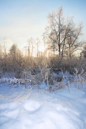 comida de navidad: Los �rboles y arbustos en la escarcha en invierno y el sol brilla a trav�s de las ramas.
