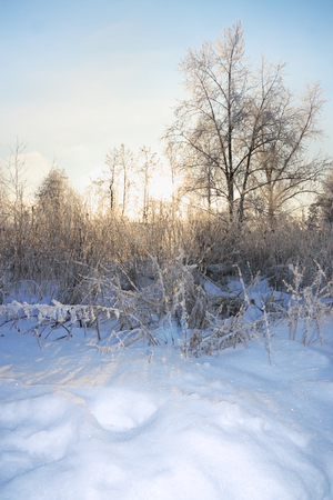 christmas meal: Trees and bushes in frost in winter and sun shines through branches. Stock Photo