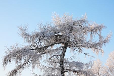 comida de navidad: Hermoso �rbol en las heladas en invierno ay fondo de cielo azul.