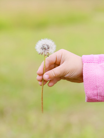 Close up of hands of little girl in pink with white dandelion outdoor