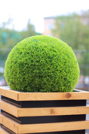 factitious: Decorative green shrub in form of ball in wooden flowerpot in summer cafe