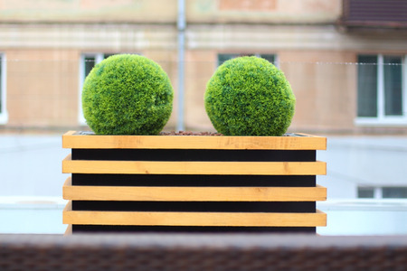 factitious: Two decorative green bushes in shape of ball in wooden flowerpot in summer cafe Stock Photo