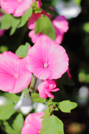 prevalent: Decorative pink flowers and buds Lavatera
