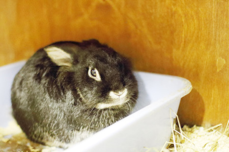 Skittish black bunny sits in white container in store of animals photo