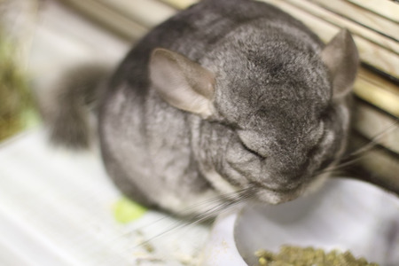 eats: Grey chinchilla sits and eats food in cage at store of animals