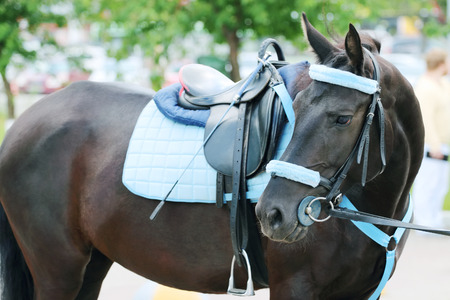Brown horse with blue harness with saddle stands on street turning his head photo
