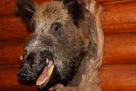 buck teeth: Closeup of stuffed wild boar head with fangs hanging on wooden wall log