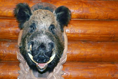 Closeup stuffed wild boar head with big fangs hanging on wooden wall log Stock Photo