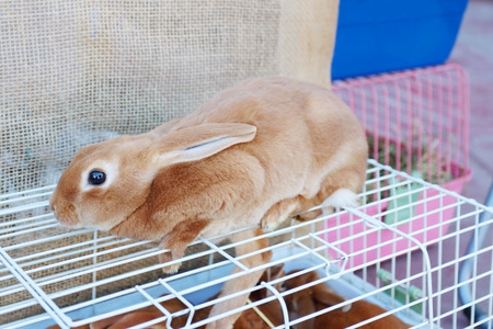 dismay: Small red hand rabbit sits on white cell in store of animals Stock Photo