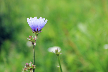 chicory flower: Single blue chicory flower on summer field. Close up view, shallow dof Stock Photo