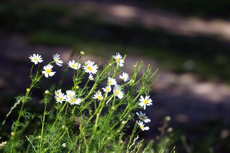 dof: Simple wild flowers chamomile at summer sunny day. Shallow dof Stock Photo