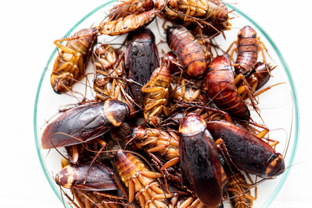 Close-up cockroach for study finding parasites in laboratory. Imagens