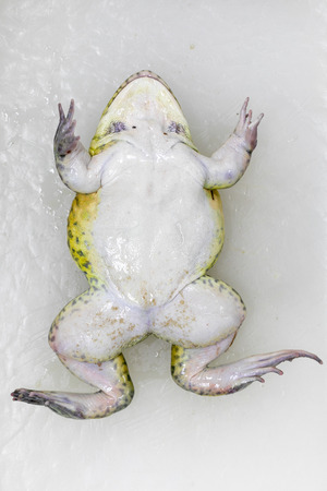 Concept of Education anatomy and physiology of frog in laboratory.