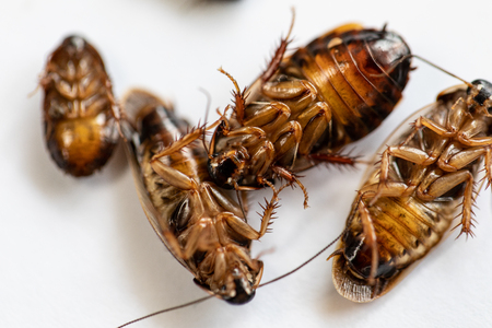 Close-up cockroach for study finding parasites in laboratory. Stockfoto