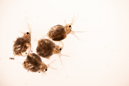 The Cladocera are an order of small crustaceans commonly called water fleas on the slide under microscope.