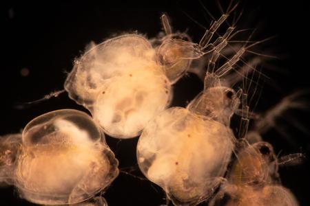 Les Cladocères sont un ordre de petits crustacés communément appelés puces d'eau sur la lame sous microscope.