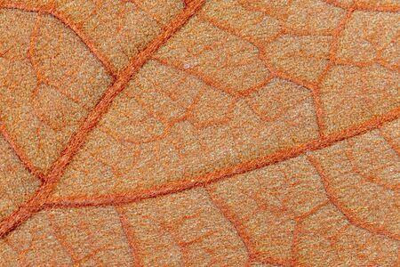 Background of characteristics the Golden Leaf (Bauhinia aureifolia) for Education in Lab. 版權商用圖片