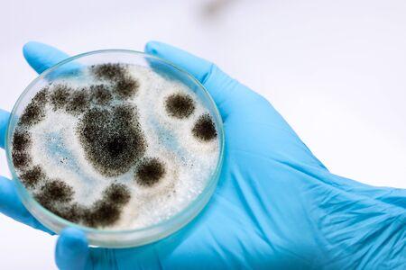 Aspergillus (mold) for Microbiology in Lab.