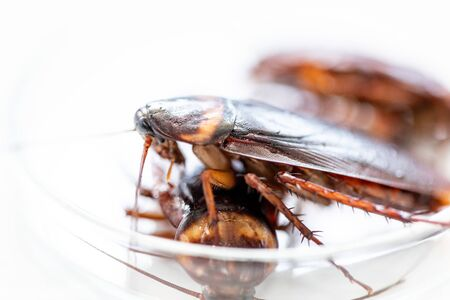 Close-up cockroach for study finding parasites in laboratory. Banque d'images