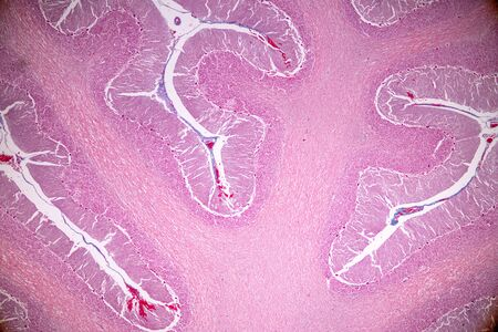 Cross section of the Cerebellum and Nerve human under the microscope for education in Lab. Stock Photo