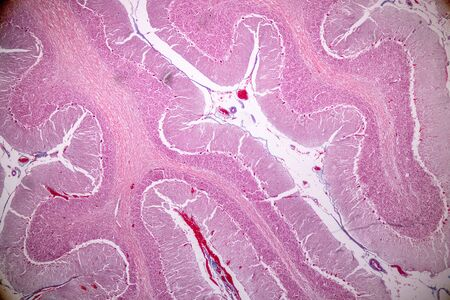 Cross section of the Cerebellum and Nerve human under the microscope for education in Lab. Imagens